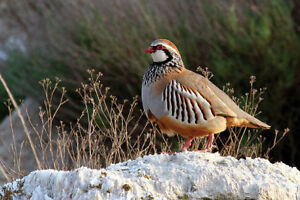 12 Red Legged Partridge French Partridge Hatching Eggs Pre Sale No Reserve