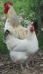 18 2 Delaware Giant Chicken Hatching Eggs For Your Incubator Dual Purpose