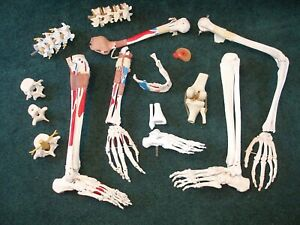Human Skeleton Anatomical Model Medical Anatomy Teaching Aid Leg Arm Jaw Bones