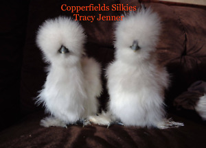 8 Bearded Silkie Hatching Eggs Assorted Colors From Color Separate Pen npip