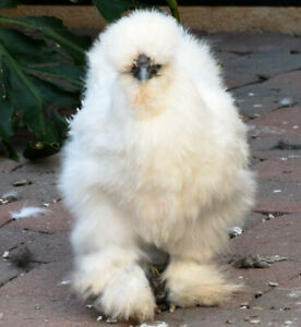 6 Silkie Hatching Eggs Show Quality Double Bearded Chickens Free Shipping