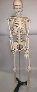 Medical Skeleton Model For Anatomy 33 Inch W stand New In Box