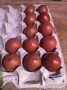 10 2 French Black Copper Marans Hatching Eggs S Texas Poultry Gamebird Co