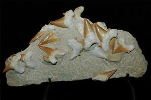 Otodus Obliquus Fossil Shark Tooth On Natural Matrix With Stand Morocco Ot3