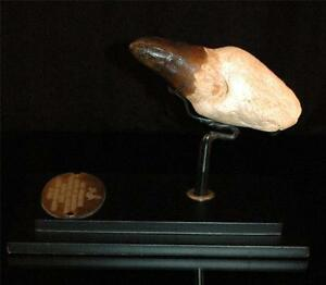 Amazing Prognathodon Mosasaur Fossil Tooth With Root From Morocco On Stand M5