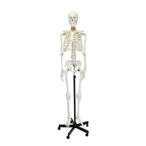 Monmed Medical Skeleton Model Life Size Human Skeleton Model For Anatomy Study