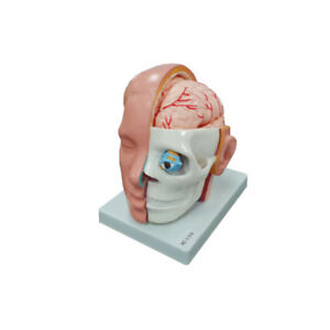 1 1 Human Skeleton Head Brain 10 Part Seperate Anatomical Anatomy Medical Model