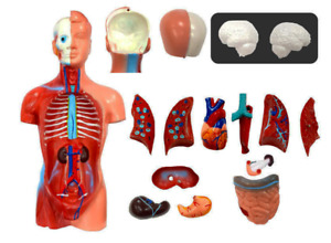 15 Parts Human Upper Body Torso Medical Anatomical Anatomy Model Life Size New