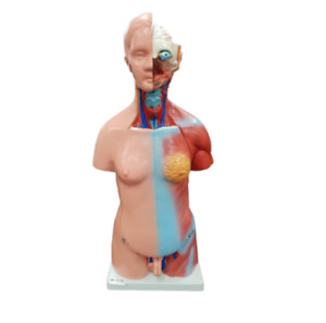 23 Parts Human Upper Body Torso Medical Anatomical Anatomy Model Life Size New