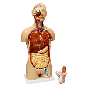 Monmed Human Torso Model Life Size Human Body Model Removable Organs