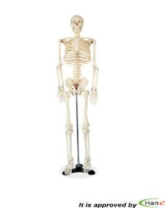85cm Human Anatomical Anatomy Skeleton Model Standing Flexible Teaching Display