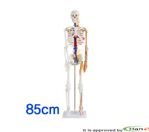 Anatomical Anatomy Human Skeleton Nerves Blood Vessels 85cm Model Teaching Color