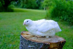 25 White Coturnix Quail Hatching Eggs Shipped In Foam For Protection