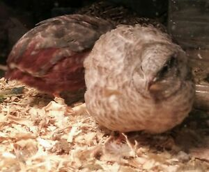 12 Fertile Button Quail Eggs For Hatching Rare Colors
