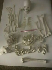 Full Disarticulated Human Skeleton Anatomy Model With Skull 62 Inches Model
