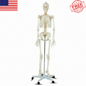 Medical School Human Anatomy Class Life size Skeleton Model With Rolling Stand