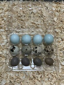 Blue Celadon Red Jumbo And Buttons Quail Hatching Eggs Certified free Gift