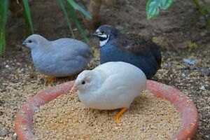 12 Button Quail Hatching Eggs Many Colors Certified Dozen Gift