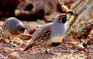 12 Gambel s Quail Hatching Eggs Available Now Gifts