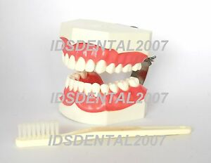 Dental Giant Study Teaching Tooth Model With Enlarged Brush New