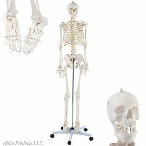 Portable School Adult Life Size Human Model Anatomical Skeleton Bone Wheel Stand