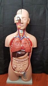 Anatomical Human Body Torso Model Lifesize Highquality