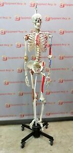 3b Scientific Gmbh Anatomical Muscle Ligament Skeleton Teaching Mounted