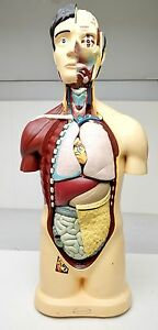 Frey Scientific Human Torso Model 43 Classroom Anatomy Removable Organs Freeship