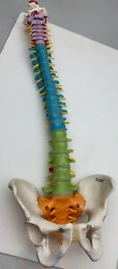 3b Scientific Didactic Flexible Spine Model 986 1996 2000 2005 Gmbh Human Spinal