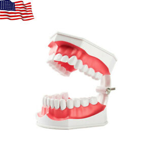 Dental Teaching Typodont Model With Removable Teeth Colgate large Easyinsmile