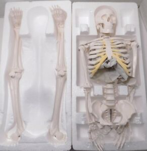 Wellden Product Anatomical Human Skeleton Model 1 2 Life Size 85cm New Opened