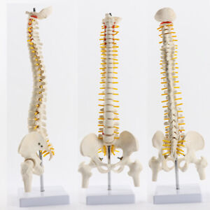 45cm Spine Model Human Spinal Column Model On Stationary Stand Medical Anatomy