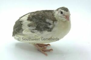 25 Silver Collection Quail Hatching Eggs coturnix