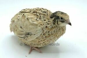 25 Pure Golden Manchurian Quail Hatching Eggs