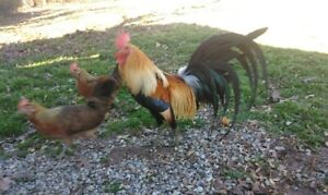 Rare Find 12 Golden Phoenix Chicken Hatching Eggs From Chickweed Farms Npip
