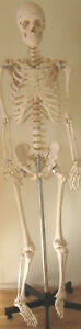 Life size Human Skeleton Anatomical Model 5 7 Medical Dental Student Teaching