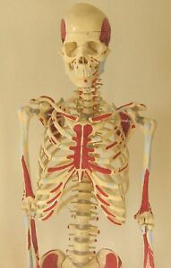 Life size Human Skeleton Anatomical Model 5 7 Medical Nursing Student New