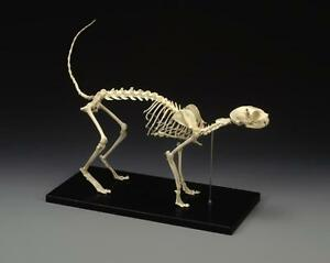 Feline Skeleton Anatomical Model Standard Size Lfa 2020 Cat