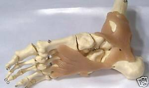 Human Foot Ankle Bone Muscle Joint Anatomical Medical Model Anatomy New