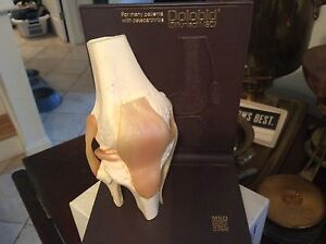 Vintage 3d Anatomical Model Of The Human Knee dolobid Medical Model
