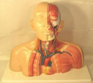 Human Head Neck Thoracic Anatomy Anatomical Model Medical School Torso Body New
