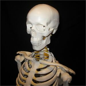 New High Quality Human Anatomical Skeleton Model 85cm Tall W nerves Stand