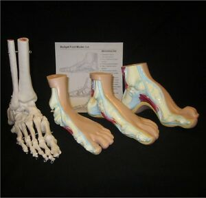 Life Size 4 Piece Human Anatomy Feet Model Set Skeleton Anatomical Podiatry Foot