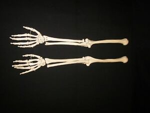 Left Right 1st Quality Life Size Human Skeleton Anatomical Arm Hand Models