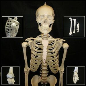 Human Anatomical Skeleton Life Size Advanced Model Stand Bone Number Kit New
