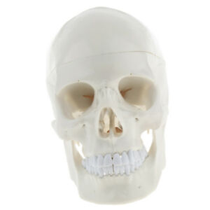 1 1 Life Size Human Head Skull Skeleton Anatomy Model Medical Learning Tool