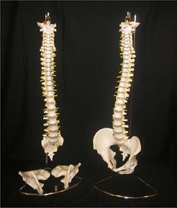 Flexible Anatomical Human Spine Life Size Model With Removable Pelvis Stand