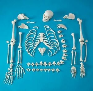 Full Disarticulated Human Skeleton Life Size Anatomical Anatomy Model W skull
