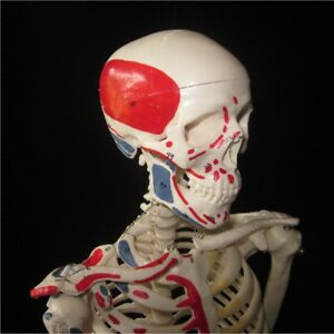 Human Anatomical Skeleton High Quality 85cm Numbered Painted Muscle Model stand