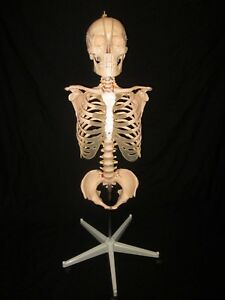 Human Anatomical Skeleton Torso Life Size Model With Skull Pelvis And Stand